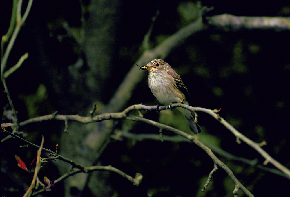 Spotted Flycatcher bird with a fly in its beak on a branch in Oxfordshire, England