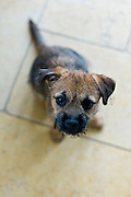 Cute Border terrier puppy 10 weeks old
