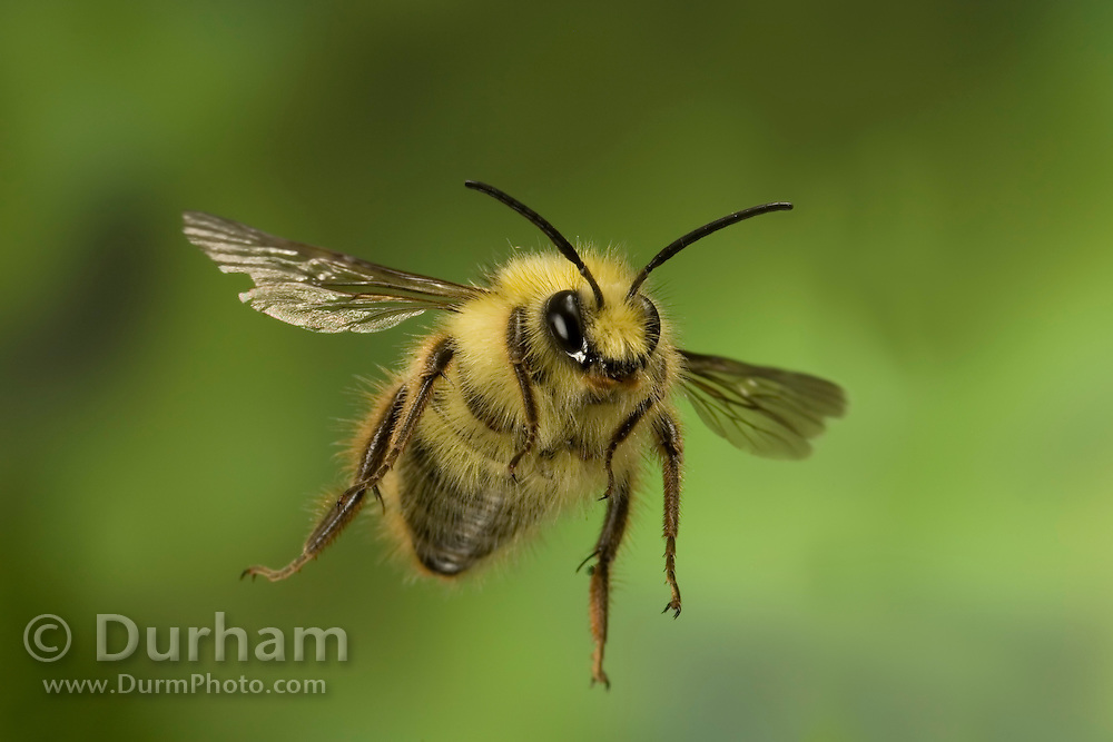 A male short tongued bee (andrena sp.) in flight, western Oregon.