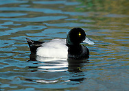 Greater Scaup Aythya marila L 42-51cm. Bulky diving duck. Recalls Tufted Duck but has rounded head without tufted crown. Gregarious outside breeding season. In flight, has striking white wingbar. Sexes are dissimilar in other respects. Adult male has green-glossed head and dark breast (look black in poor light). Belly and flanks are white, back is grey and stern is black. Has yellow eye and dark-tipped grey bill. In eclipse, dark elements of plumage are buffish brown. Adult female has mainly brown plumage, palest and greyest on flanks and back. Note white patch at base of bill. Juvenile is similar to adult female but white on face is less striking. Voice Mostly silent. Status A few pairs breed but known best as local winter visitor, mostly to sheltered coasts.