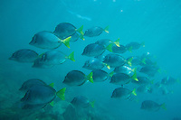 School of Razor Surgeonfish (Prionurus laticlavius) Galapagos Islands, Ecuador.