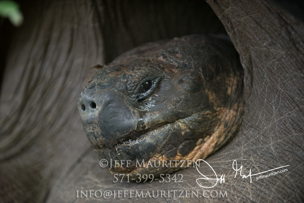 Tears stream down the face of a Galapagos Giant tortoise.