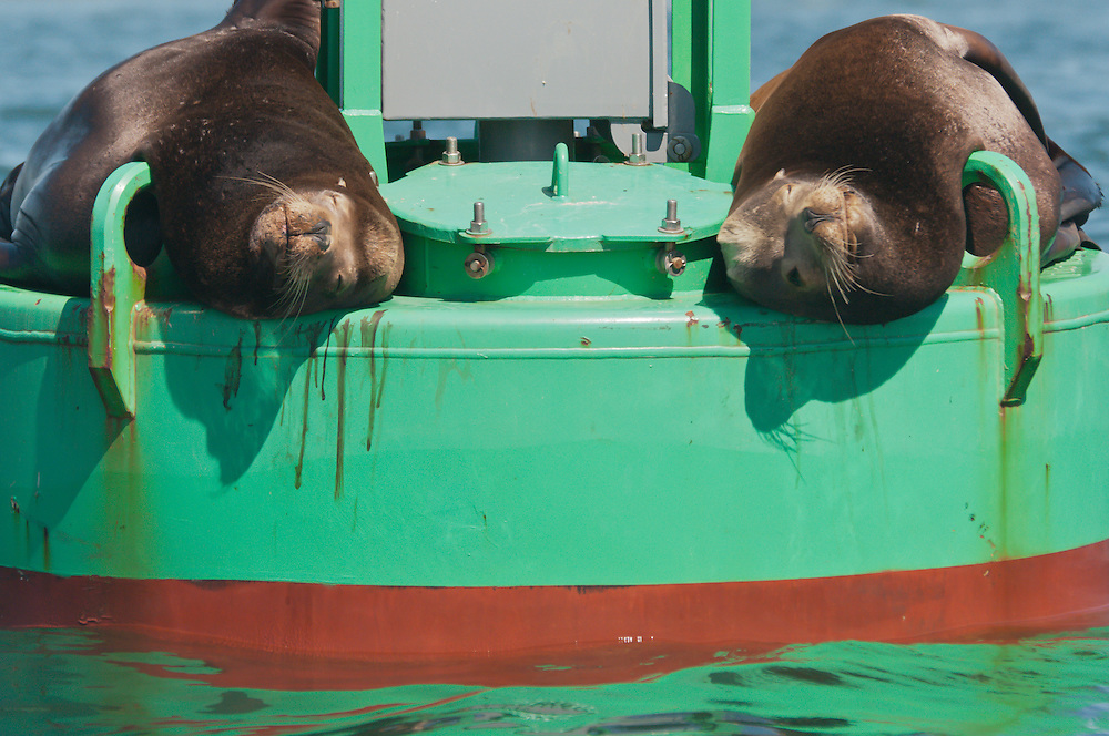 Two large male California sea lions (Zalophus californianus) lounge on a buoy near the Everett Marina in Puget Sound, Washington.  Male sea lions can grow up to 850lbs, and their voracious appetite for fish often leads to conflicts with fishermen.  Photo by William Byrne Drumm.