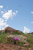 Lace Cactus, Burnet County