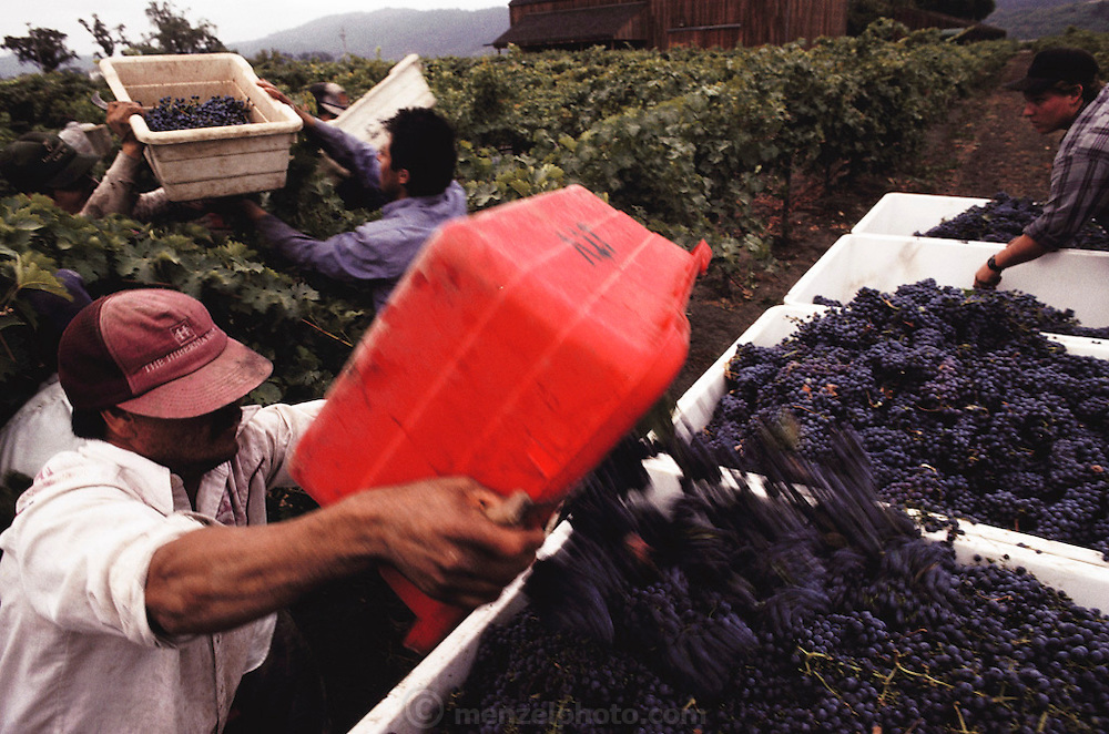 Napa Valley, California. Hand harvesting of cabernet sauvignon that will be made into wine. A picker dumps his bin of grapes into the micro bins. Johnson Turnbull.