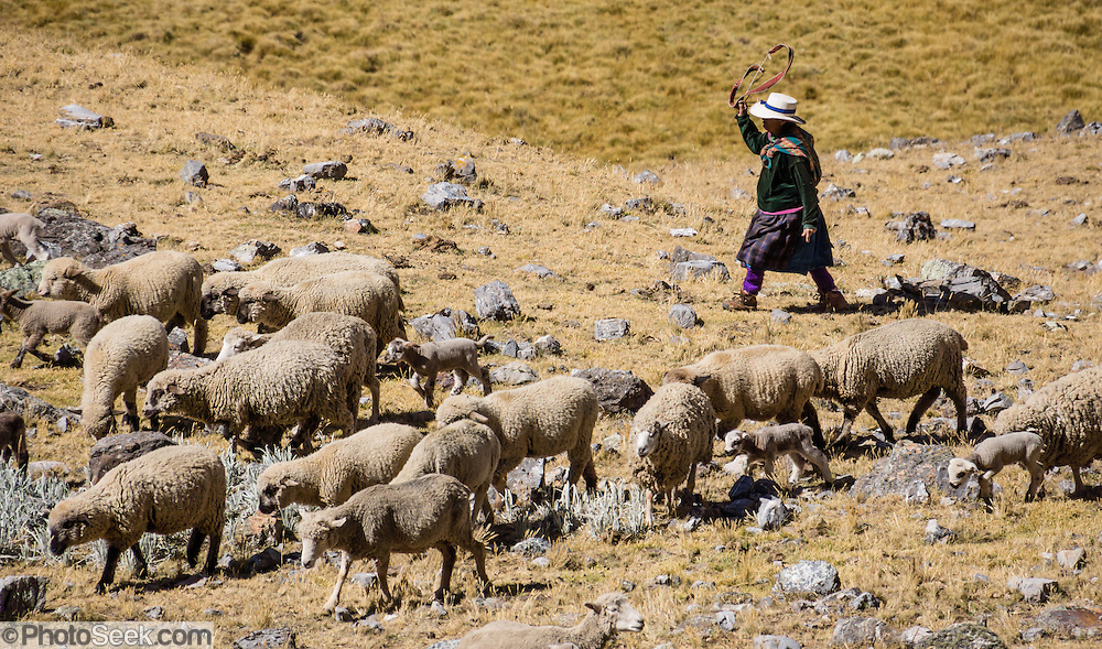 A campesino woman shepherd drives sheep flock. Day 7 of 9 days trekking around the Cordillera Huayhuash in the Andes Mountains, Peru, South America.