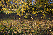 Fallen yellow autumn leaves in Dulwich Park, London borough of Southwark.
