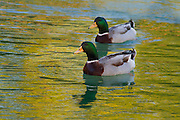 Mallard drakes floating in a Savannah, Gerogia pond in late evening light.<br /> The late evening light painted the water blue and yellow-gold.