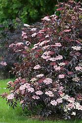 Sambucus nigra f. porphyrophylla 'Thundercloud'. Black leaved elder