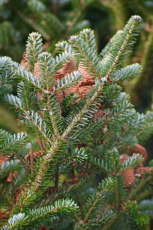 Abies cv (fir) foliage and cones