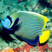 Emperor Anglefish inhabit reefs. Picture taken Triton Bay, West Papua, Indonesia