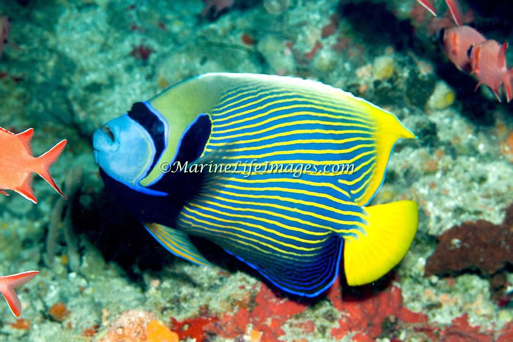 Emperor Anglefish inhabit reefs. Picture taken Triton Bay, West Papua, Indonesia