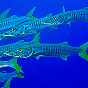 Pickhandle Barracuda school in open water. Pacture taken Fiji.