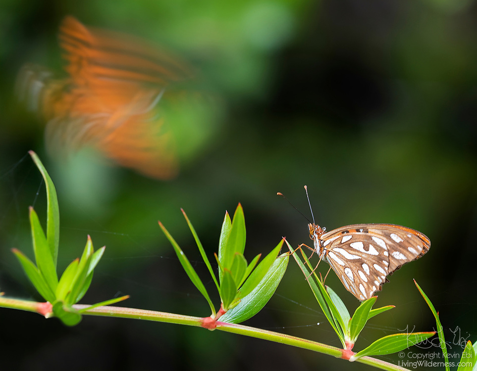 A Gulf fritillary or passion butterfly (Agraulis vanillae) watches as another flies by in the Vieques National Wildlife Refuge, Vieques, Puerto Rico. The Gulf fritiallry is a widespread neotropical butterfly, found from the south-central United States to southern South America.