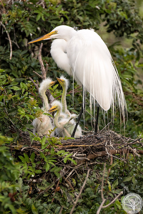 Parent great egret in the nest with three baby egrets, one trying to flap his little wings. Venice Audubon Rookery, Venice, Florida.