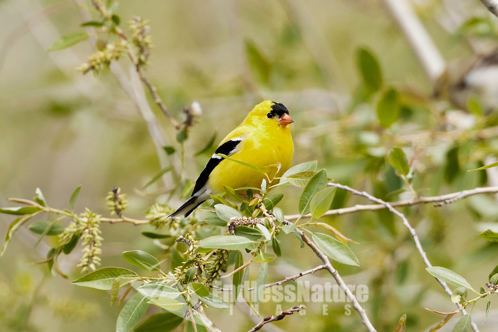 A male American Goldfinch spends time perched in a willow tree feeding on the new willow buds.