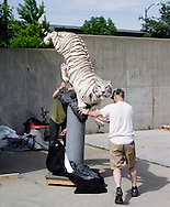 Dakota Taxidermy and Faniel meng(green shirt) puts their White Tiger into the trailer after the show.<br /> The White Tiger won second place in the Carl E. Akeley Award.