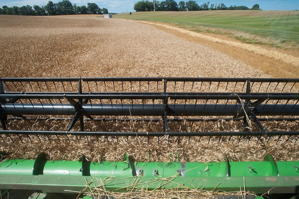 Combine harvesting grain