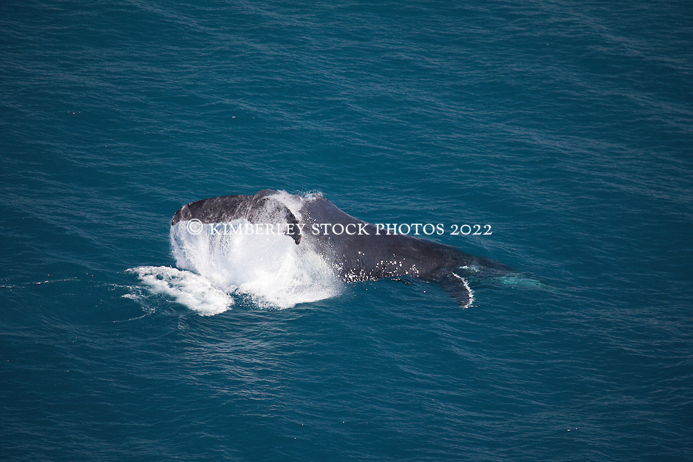 A humback whale slaps its tail near Talboys Rock north of Broome.