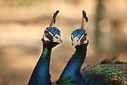 Close up of the heads of two male peacocks
