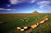 A flock of sheep passes in front of Mont Saint-Michel in Normandy, France.