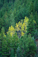 A small grove of bright yellow aspen trees is surrounded by pine trees in Logan Canyon in Northern Utah.