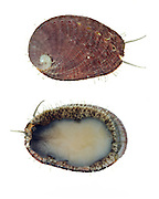 Green Abalone (Haliotis fulgens)<br />