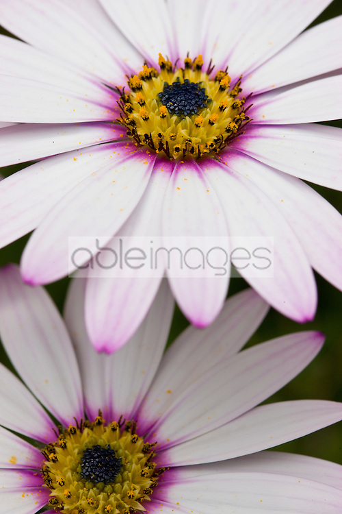 Extreme close up of a Daisy Dimorphotheca