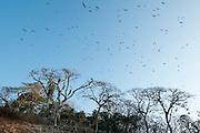 Flock of Magnificent Frigatebird (Fregata magnificens) flying over the forest in Isla Pacheca shore. Las Perlas Archipelago, Panama Province, Panama, Central America.