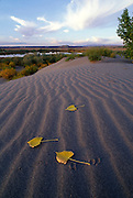 THIS PHOTO IS AVAILABLE FOR WEB DOWNLOAD ONLY. PLEASE CONTACT US FOR A LARGER PHOTO. Idaho. Bruneau Dunes SP. Autumn leaves of black cottonwod on sand dune.
