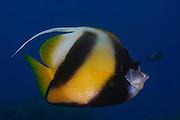 Israel, Eilat, Red Sea, - Underwater photograph of a Red Sea bannerfish (Heniochus intermedius)
