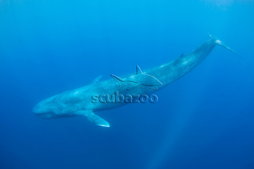 Blue whale, balaenoptera musculus brevicauda, swimming in open ocean, Sri Lanka