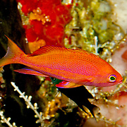 Randall's Anthias inhabit steep dropoffs; picture taken Forgotten Islands Chain, Watubela Islands group, Kurkap Island, Indonesia.