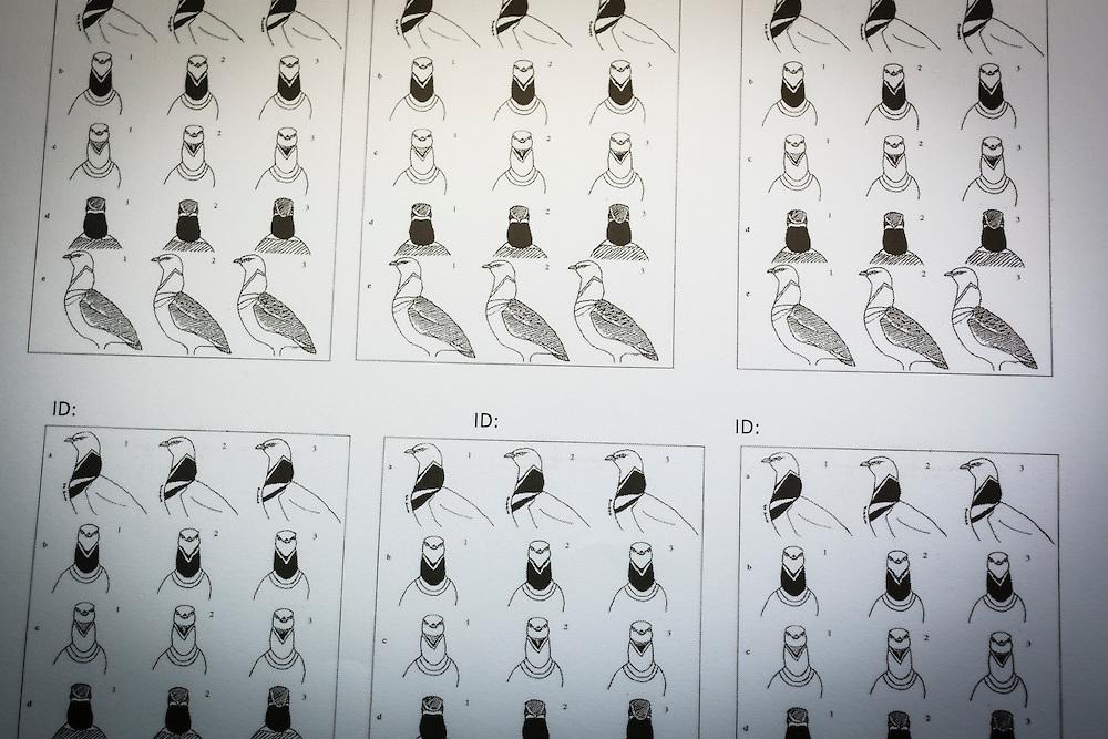 Little Bustard (Tetrax tetrax) identification chart. Lleida province. Catalonia. Spain.
