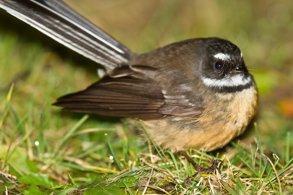 Fantail, New Zealand