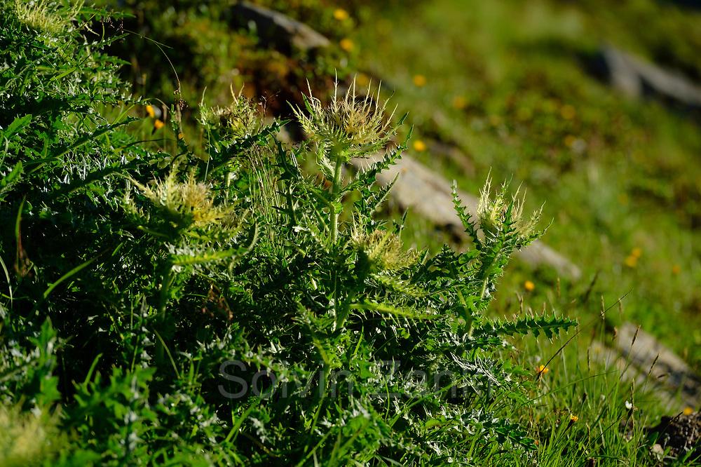 Spiniest Thistle (Cirsium spinosissimum) High Tauern National Park (Nationalpark Hohe Tauern), Central Eastern Alps, Austria    Alpen-Kratzdistel (Cirsium spinosissimum) Nationalpark Hohe Tauern, Osttirol in Österreich