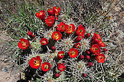 Claret Cup or Hedgehog Cactus grow in clumps and flower in late spring with brilliant scarlet, orange and yellow blooms. This clump is on full display.