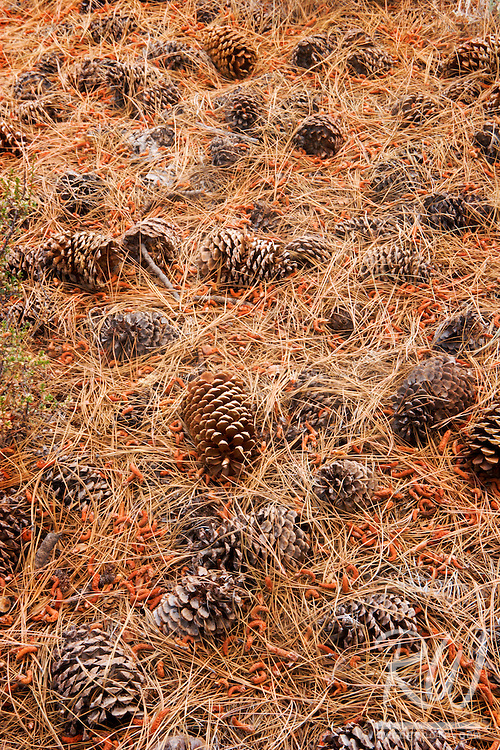 Pine Cones, The Buttermilks, Inyo National Forest, California