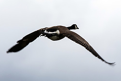 Canada Goose (Branta canadensis) flying, Baylands Nature Preserve, Palo Alto, California, United States of America