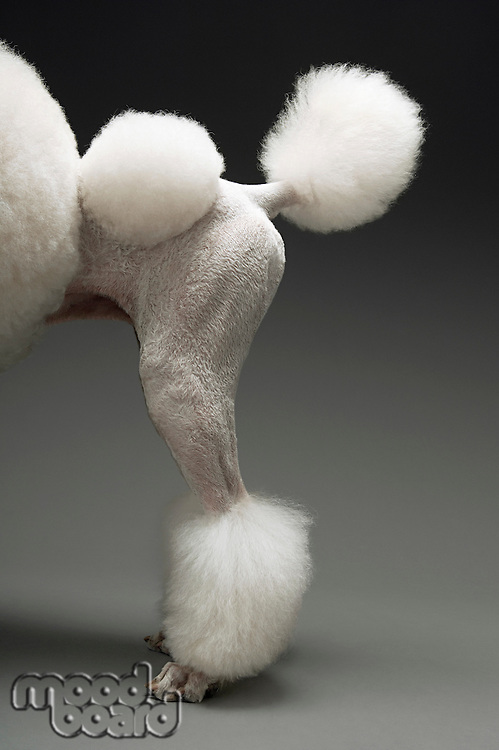 Haunches of Poodle on grey background