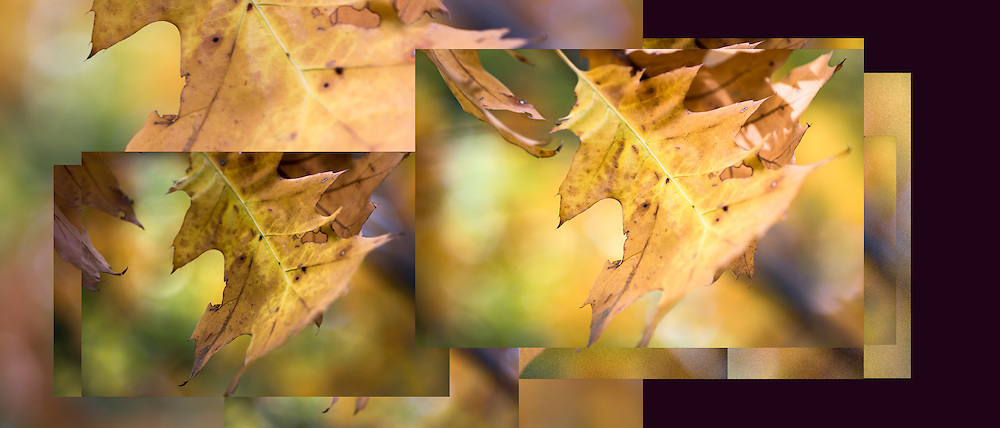 These last few leaves flying with the wind and their surroundings render delightful sensual pleasure.<br /> Seen here is composite image of this lovely autumn oak leaf floating in the wind. Overlapping images take you on a journey with the uplifting movement of the leaf. 