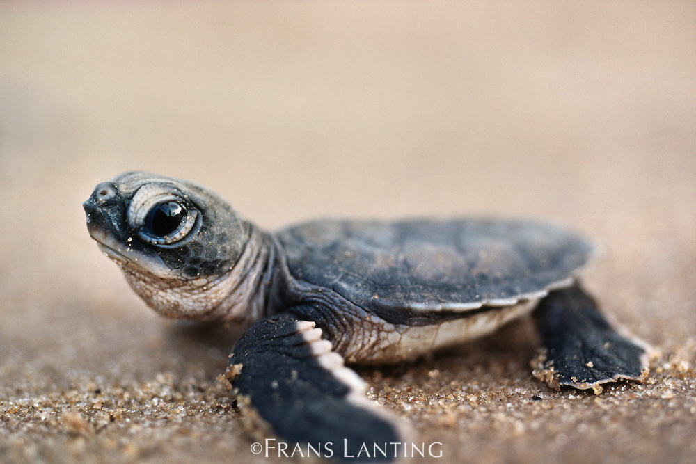 Green sea turtle hatchling, Chelonia mydas, Surinam