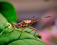 Western Conifer Seed Bug on an Arugula leaf. Image taken with a Fuji X-T3 camera and 80 mm f/2.8 macro lens (ISO 160, 80 mm, f/11, 1/60 sec).
