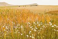 Herd of commercial Bison (Bison bison) Central Montana