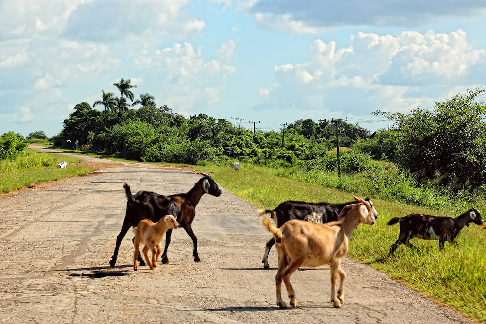 goats in the road near vertientes camaguey cuba robin thom
