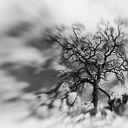 Desert Oak Large Rock Hill - Lensbaby - Infrared Black & White