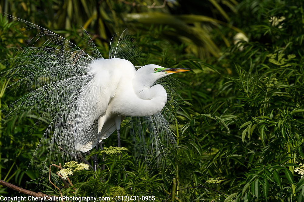Male Great Egret showing off his breeding plumage