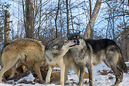 A pack of gray wolves (Canis lupus) interact in snowy, wooded habitat.