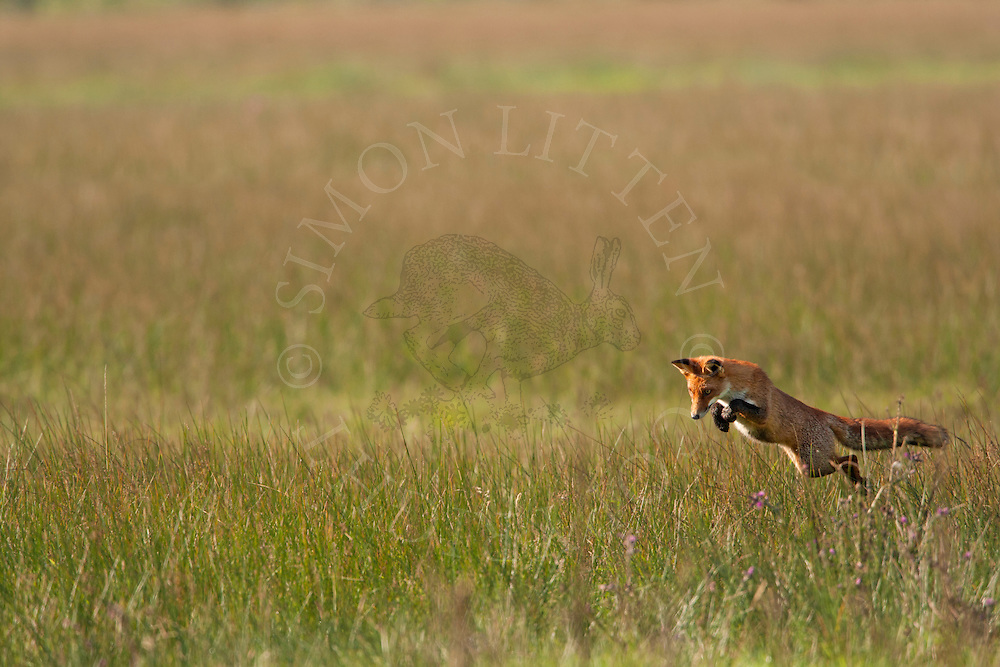 European red fox (Vulpes vulpes) hunting in meadow, Norfolk, UK.