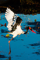 A saddle-billed stork lifting off from the water, Okavango Delta, Botswana